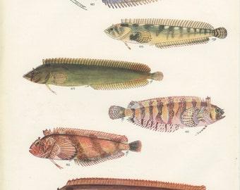 Vintage Fish Print, 1950, Fleet Klipfish, Nosestripe Klipfish, Snaky Lipfish, River Shiner, Ichthyology (78)  Kitchen Art, Cottage Decor