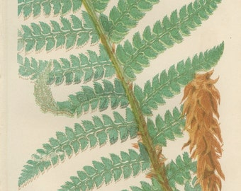 Lace Fern, Alaska Fern, Antique Botanical Fern Print 4, 1866, British Natural History, Country Cottage Decor, Library Decor