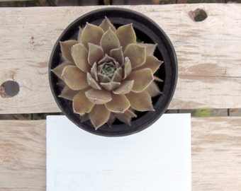 Racy Sempervivum Plant, Hens and Chicks, Extremely Cold Hardy Succulent
