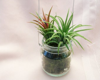 Double Ionantha airplants in baby food jar with green moss