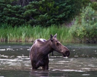 Moose, Fisher Cap Lake, Glacier National Park, Fine Art Photography, Nature Photography, Montana Art