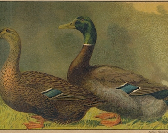 1899 Antique DUCK  lithograph, wild ducks old print