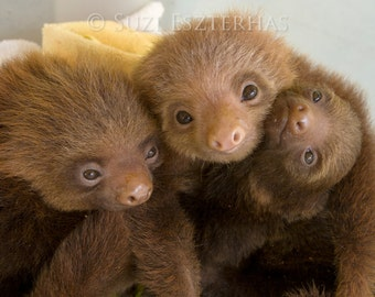 Animal Nursery Art, BABY SLOTH CUDDLE Photo, Baby Animal Photography, Wildlife Photography, Safari Nursery Decor, Baby Nursery Wall Art, Zoo