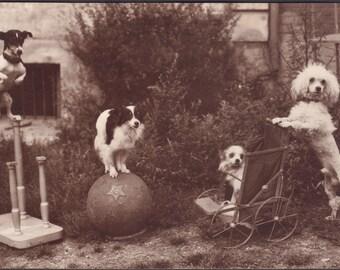 Daring Dog Quartet Poses for Portrait, Alfred Noyer, circa 1920s