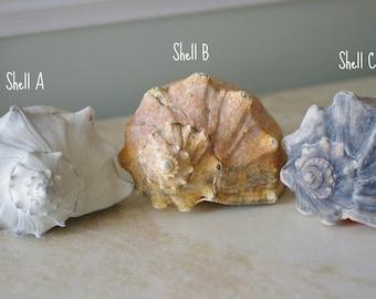 Beach Decor - Tri-color Whelk Seashell - White, Gold and Blue
