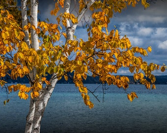 White Birch Tree in Autumn along the shore of Crystal Lake near Frankfort Michigan No.9190 -  A Fine Art Fall Landscape Photograph
