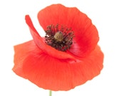 Set of 12 Folded Cards with Poppies, Blank Inside