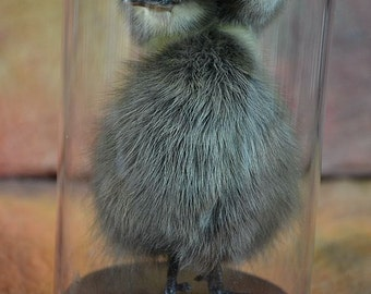 taxidermy of Two head  duckling, black duck mounted in dome.made by 2 ducklings