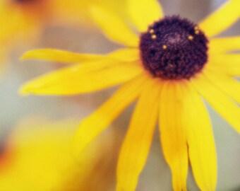 Yellow Photography, Nature Sunny Yellow Flower Print, Modern Yellow Botanical, Black-eyed Susan Picture 8x8