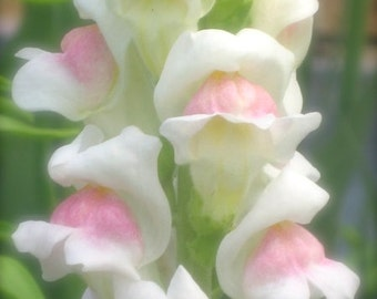 SALE Snapdragon Apple Blossom White Pink Hardy Annual or Perennial Depending on Your Area Plants Easy to Grow Excellent Cut Flower Seeds