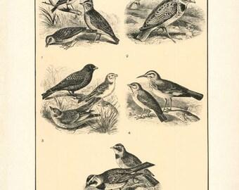 "Digital Download ""Larks"" Illustration (c.1900s) - Instant Download Printable of Birds Illustrated Bird Book Page"