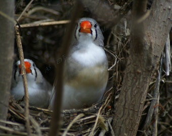 2 Finches in a nest photo  greeting card 5x7