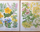 Antique Prints Set of Two, Flower Charts no.A 1960 yellow plants wall art vintage color lithograph illustration botanical floral print
