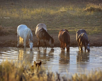 Wild Mustangs of Wyoming at Watering Hole. Wild Horses Fine Art Photography