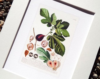 Fig Fruit Botanical Naturalist Collection Archival Print on Watercolor Paper