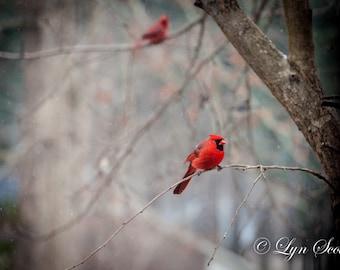 Cardinal, Bird, Nature, Landscape, Red Bird, Wildlife, Winter, Snow, Photography, fine art, wild bird, wall art, Bird in Tree
