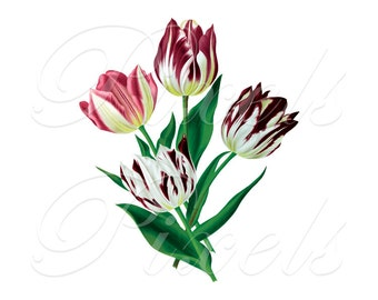 TULIPS Instant Download, pink red Wedding Clipart, Image Transfer, Digital Download, Botanical Illustration pink red white green purple 406