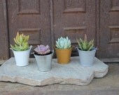 """SAMPLE 3 DIY Assorted Succulents in 2"""" container with 3 Pails, Perfect for Any Event! Wedding, Party,  Succulents, Favors, and Gifts+"""