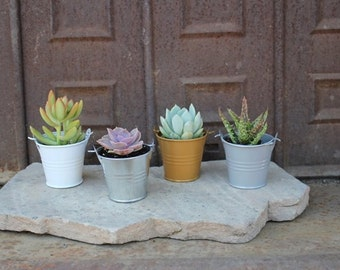 "SAMPLE 3 DIY Assorted Succulents in 2"" container with Adorable Pails - Your Choice of Color- Party FAVOR Kit succulent gifts*"