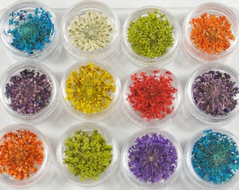 120 pcs of  12 colors oganic dried flower Queen Anne's lace 20mm diameter