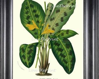 BOTANICAL PRINT HOUTTE  Art Print 58 Beautiful Galathea Pardina Plant Leaf Tropical Nature Yellow Flowers Antique Home Wall Decor