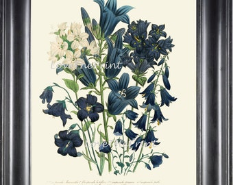 BOTANICAL PRINT Loudon Flower  Botanical Art Print 79 Beautiful Blue Antique Campanula Flowers Garden