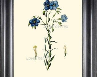 BOTANICAL PRINT Clarke  Botanical Art Print 13 Beautiful Blue Flax Small Flowers Antique Botany Illustration Home Wall Decor to Frame
