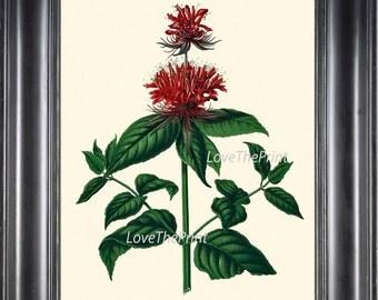 BOTANICAL PRINT WITTE  Art 43 Antique Red Crimson Scarlet Beebalm  M0onarda Oswego Tea Bergamot Red Flower Wildflower Nature Home Decor