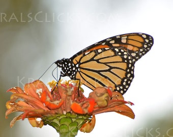 Monarch Photograph Butterfly close up zinnea flower orange green butterflies monarchs Home Office Wall Decor Fine Art Photograph wings flowr