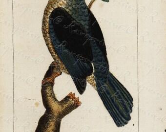 Original Antique Natural History Bird Engraving  Hand Colored  - Very Rare -