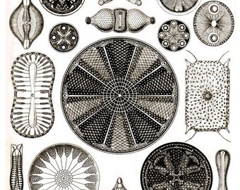 Haeckel Diatoms antique prints sepia science art print natural history vintage Victorian art print old lithograph prints SIX SIZE OPTIONS