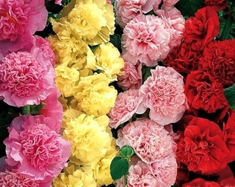 50 - Double Hollyhock Seeds - Carnival Mix -  Heirloom Hollyhock Seeds, Heirloom Flower Seeds, Non-GMO Hollyhock Seeds, Non-gmo Flower Seeds