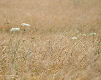 Nature Photography ~ Wheat Field Landscape Photo  ~  Queen Anne's Lace ~ Minimalist Large Art ~ Natural Beige Decor ~ Grass in Wind fPOE