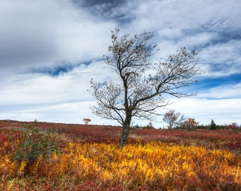 Burning Heather- Fine Art Landscape Photograph. Dolly Sods Photographic Print. Fall Colors.