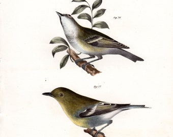 1844 Antique Bird Print Greenlet Large Natural History Folio New York Plate 35