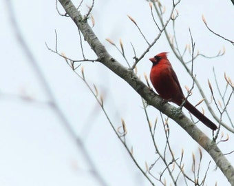 Cardinal on Naked Branch Print