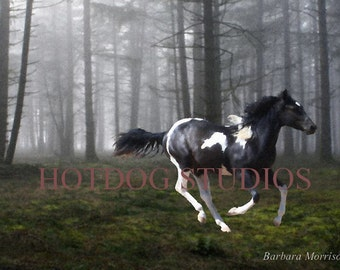 Forest run, 8x10 art photograph of black and white paint colt