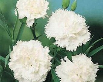 Carnations-White- 50  Seeds