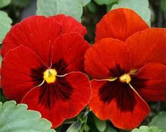 Pansy Seeds- Alpenglow- 50 Seeds