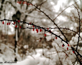 Winter photography  - Fine Art Photography - 8x12 print - winter photo print, snow photography, nature photography, winter berries photo