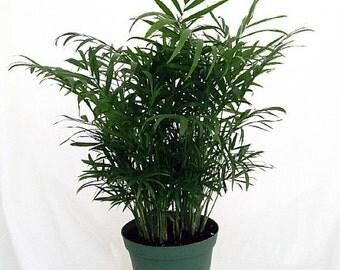"""Hirt's Victorian Parlor Palm - Chamaedorea - Indestructable - 6"""" Pot"""