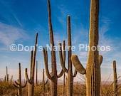 Saguaro National Park, Arizona. #2170