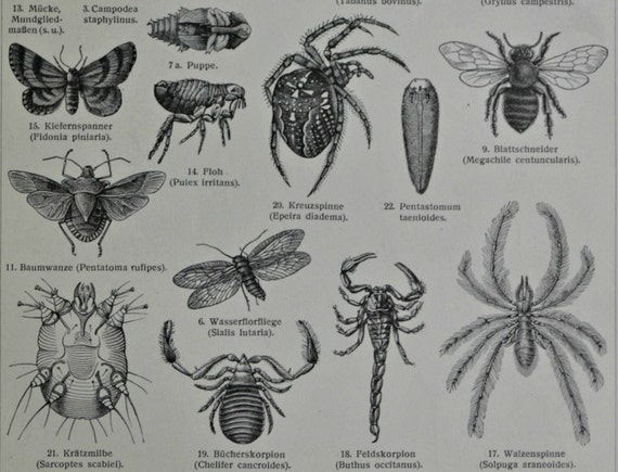 Arthropods engraving.Invertebrate morphology.Zoology print.Old book plate,1904.Antique illustration. 111 years lithograph. 9'6 x 6'2 inches.