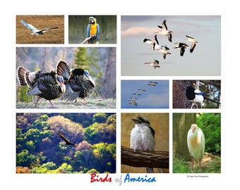Poster of Birds   A collage of Birds taken in America.  Eagle, turkey, parrot, cranes, geese