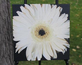 White Gerbera Daisy Canvas Gallery Wrap