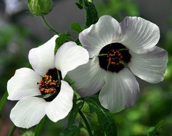 Hibiscus Simply Love Flower Seeds (Hibiscus Trionum) 20+Seeds