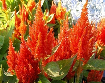 Celosia Orange Plume Flower Seeds (Celosia Plumosa) 40+Seeds