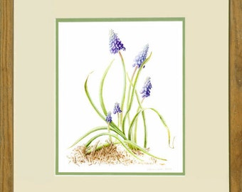 Grape Hyacinth- framed, original botanical painting