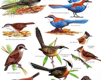 Vintage Bird Print - Eastern Whipbird, Large Wren Babbler, Whiskered Yuhina, Mid Mountain Rail Babbler - 1990 Vintage Book Page - 11 x 9