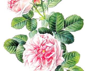 Pink Rose Print - 1969 Vintage Colored Botanical Illustration - 6 x 9 Book Page